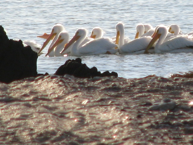 A flock of rare white pelican swim by our casa in Campo Uno.