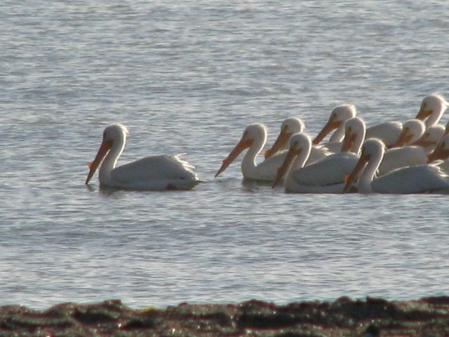Rare White pelicans swim by our casa at Campo Uno